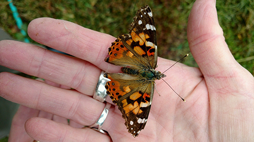 Butterfly on farm