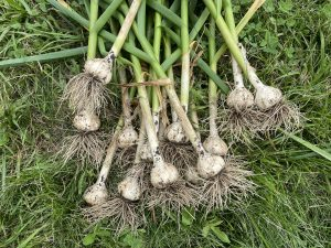 Garlic Harvest 2021